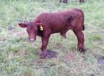 First Bull Calf 2013