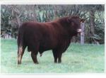 Rotokawa Bull