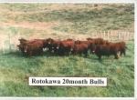 Rotokawa 20 months Bulls